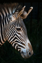 Close-Up Of Grevy's Zebra (Equus Grevyi) Head In Profile Against A Black Background; Cabarceno, Cantabria, Spain