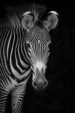 Close-Up Of Grevy's Zebra (Equus Grevyi) Looking At Camera Against A Black Background; Cabarceno, Cantabria, Spain