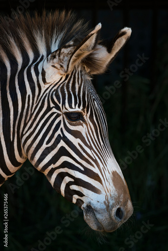 Fotografía Close-Up Of Grevy's Zebra (Equus Grevyi) Head In Profile Against A Black Backgro