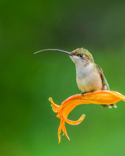 Ruby-throated Hummingbird (Archilochus Colubris) Resting On An Orange Lily With A Green Background; Redbridge, Ontario, Canada