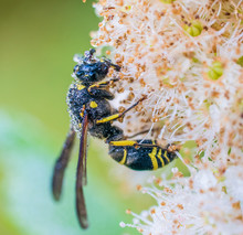 Potter Wasp (Eumenes Fraternus) Covered In Dew And Resting On A Plant; Ontario, Canada
