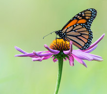 Monarch Butterfly (Danaus Plexippus) Resting On A Purple Cone Flower (Asteraceae); Ontario, Canada