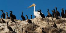 Double-crested Cormorants (Pha...