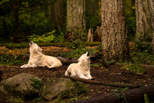 Gray Wolves (canis Lupus) In T...