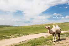A Camel Standing Beside A Dirt...