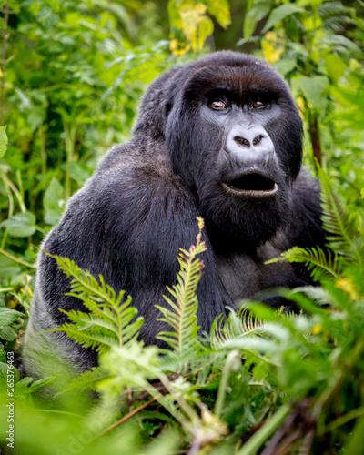 Portrait of gorilla sitting...