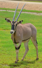 The East African Oryx (Oryx Beisa), Also Known As The Beisa Is A Species Of Antelope From East Africa. It Has Two Subspecies: The Common Beisa Oryx (Oryx Beisa)
