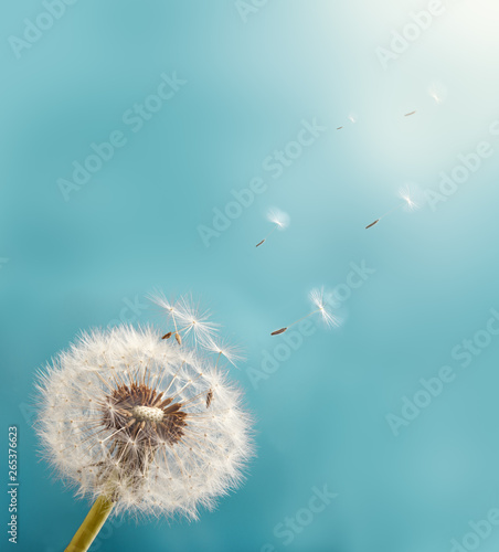 Poster de jardin Pissenlit Dandelion with seeds flying into the sky. Macro Photo