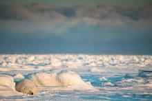 Polar Bear (Ursus Maritimus) L...