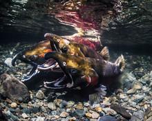 Coho Salmon (also Known As Sil...