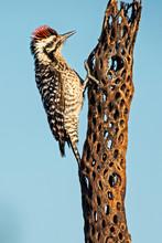 Acorn Woodpecker (Melanerpes F...