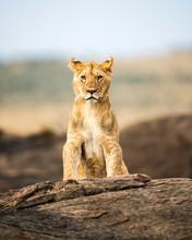 Portrait Of A Lion Cub (Panthe...