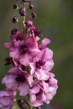 Moth Mullein (Verbascum Blattaria) Blooms In A Garden In Oregon; Astoria, Oregon, United States Of America