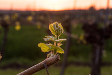Young Grapevine In The Vineyar...