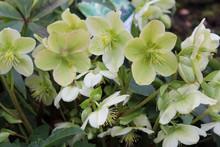 Helleborus Orientalis. Bloomin...