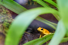 Golden Poison Frog Among A Gre...