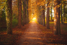 Tree Avenue In Autumn During Sunset. Sunset With Golden Leaves. Backlight At The End Of The Avenue