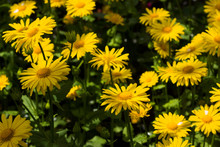 Doronicum Orientale (Leopard's Bane) - Spring Flower Like A Yellow Daisy, Beautiful Background. Sunflower Family (Asteraceae)