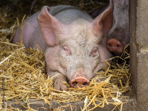 Pig sleeping in a barn Fototapet