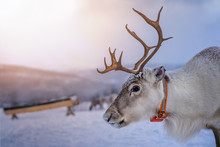A Reindeer With Massive Antlers
