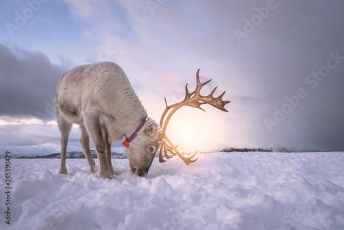Fotografiet  Reindeer digging in snow in search of food