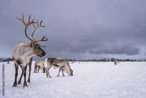 Portrait of a reindeer with massive antlers Wallpaper Mural