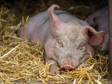 Pig Sleeping In A Barn