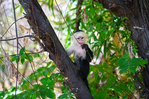 A white-headed capuchin monkey (cebus capucinus) on a fence  in Peninsula Papaga Wallpaper Mural