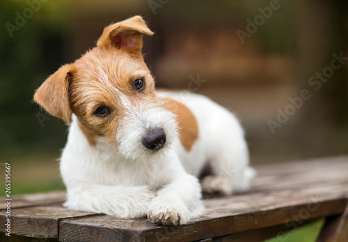 Fototapeta  Cute happy pet dog puppy thinking and listening with funny ears