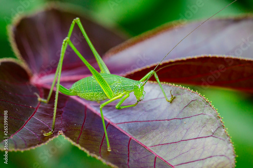 Image of family Tettigoniidae(Mirollia hexapinna) are commonly called katydids or bush-crickets on leaves Wallpaper Mural