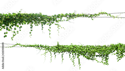 Valokuva green Ivy plants hanging on electrical wires isolate white background