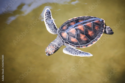 Poster Tortue green turtle farm and swimming on water pond / hawksbill sea turtle little baby 2-3 months old