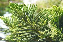 Araucaria Heterophylla - Norfolk Island Pine Close Up.