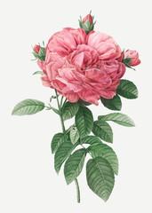 Fototapeta Vintage Giant french rose