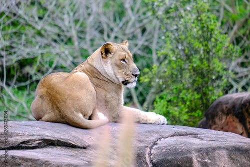 Cadres-photo bureau Puma Mountain lion napping resting on rock big cat