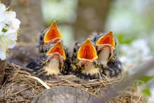 Bird Brood In Nest On Blooming...