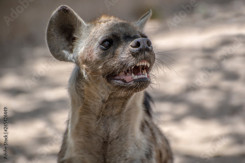 Fotografie, Tablou Spotted Hyena in nature, Portrait,close up.