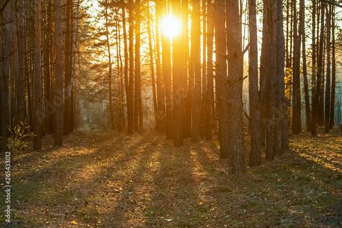 Fotobehang Natuur beautiful orange sunset in a pine summer forest