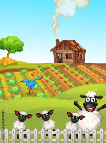 Sheep at the farmland
