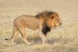 canvas print picture - Big male African lion (Panthera leo) in natural habitat, Etosha National Park, Namibia.
