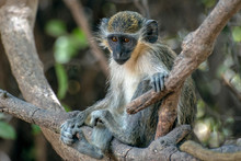 Green Vervet Monkeys In Bigilo Forest Park, The Gambia.