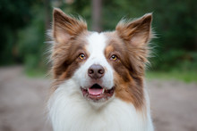 Brown Border Collie Headshot