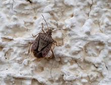 Brown Marmorated Stink Bug , Halyomorpha Halys, On Wall-