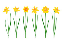 Set Of Narcissus Isolated On White Background. Vector Illustration