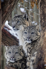 Snow Leopard Cubs With Mother....