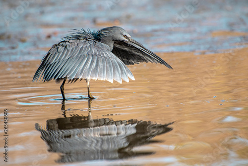 Foto Black heron uses a hunting method called canopy feeding—it uses its wings like an umbrella,  creating shade that attracts fish