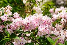 Deutzia Rosea Grandiflora