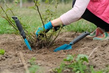 Spring Gardening, Mature Female Gardener Wearing Gloves With Garden Tools And Soil Under Rose Bush