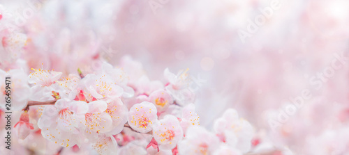 Fotografia Cherry blossom in spring for background or copy space for text