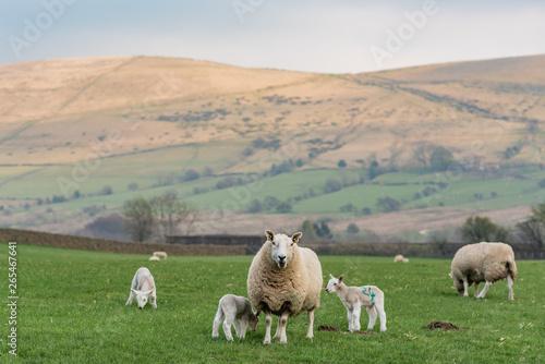 Foto op Plexiglas Schapen Sheep family on the green field, Wales, England